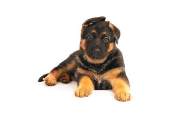 Cute German Shepherd puppy lying down indoors on a white background