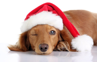 Dachshund puppy wearing a Christmas Santa hat.