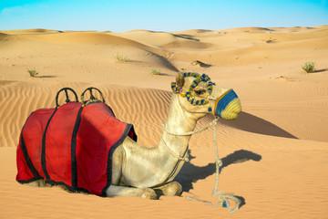 Camel laying on sand dune with riding saddle