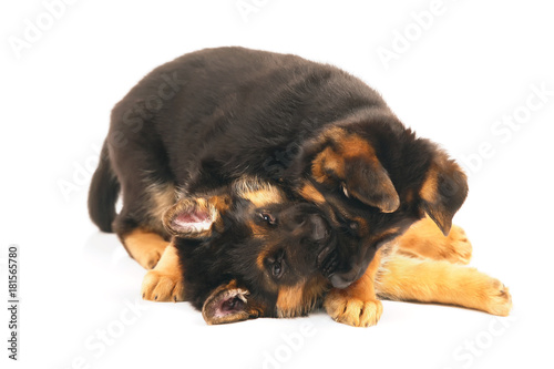Two German Shepherd Puppies Playing With Each Other Indoors