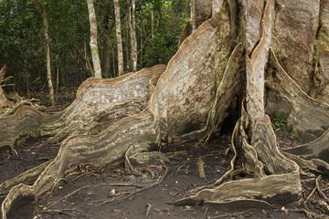 サキシマスオウ サキシマスオウの木 根っこ