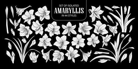 Set of isolated white silhouette Amaryllis or Hippeastrum in 44 styles. Cute hand drawn flower vector illustration in white plane and no outline.