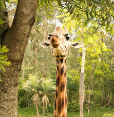 Giraffe looking for food during the daytime.