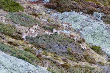 Grupo de Cabras Montesas. Capra pyrenaica victoriae. Espacio Natural Sierra de Los Ancares.