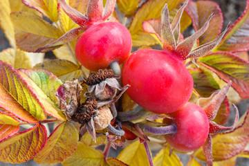 Rosa pimpinellifolia. Variedad de Rosal Silvestre con frutos en otoño.