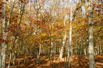 Buchenwald im Herbst an der Goor in Lauterbach auf der Insel Rügen