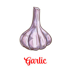 Garlic vegetable sketch for spice and food design