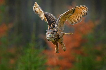 Flying Eurasian Eagle Owl, Bubo bubo, with open wings in forest habitat, orange autumn trees. Wildlife scene from nature forest, Sweden. Animal in fall wood.