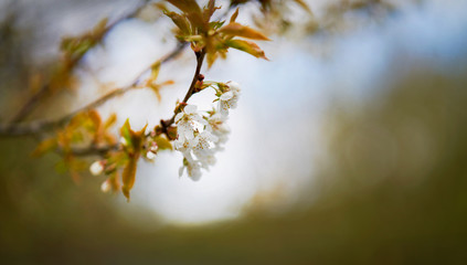 soft focus image of white cherry blossom flowers on a tree in springtime shallow focus
