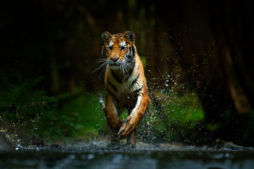 Tiger running in the water. Danger animal, tajga in Russia. Animal in the forest stream. Grey Stone, river droplet. Amur tiger with splash river water. Dark forest with tiger.