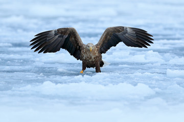 Fototapete - Flight White-tailed eagle, Haliaeetus albicilla, Hokkaido, Japan. Action wildlife scene with white cold ice. Eagle fly landing above the sea ice. Winter scene with bird of prey. Big eagles, snow sea.