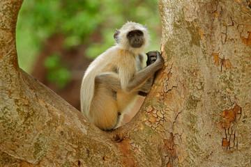 Common Langur, Semnopithecus entellus, portrait of monkey, nature habitat, Sri Lanka. Feeding scene with langur. Wildlife of India. Monkey in nature habitat, clear background. Monkey detail portrait.
