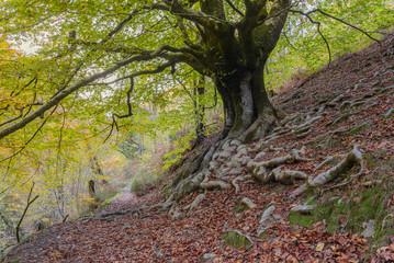 Beech forest at Hell´s Mill (Infernuko Errota) trail in Baztan valley, Navarra, Spain