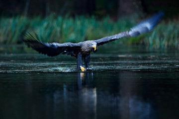 Wall Mural - Eagle hunting. Eagle in fly above the dark lake. White-tailed Eagle, Haliaeetus albicilla, flight above water river, bird of prey with forest in background, animal, nature habitat, wildlife, Norway.
