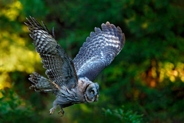 Fototapete - Flying Great Grey Owl, Strix nebulosa, above green spruce tree with orange dark forest background. Wildlife in Sweden. Bird in fly with open wing. Action scene from the forest with owl.