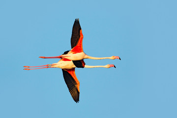 Flying pair of nice pink big bird Greater Flamingo, Phoenicopterus ruber, with clear blue syk, Camargue, France. Greater Flamingo,  animal in the nature habitat. Blue sky and clouds, Europe.