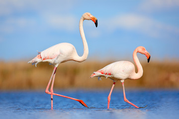 Pair of flamingos. Bird love in blue water. Two animal, walking in lake. Pink big bird Greater Flamingo, Phoenicopterus ruber, in the water, Camargue, France. Wildlife bird behaviour, nature habitat