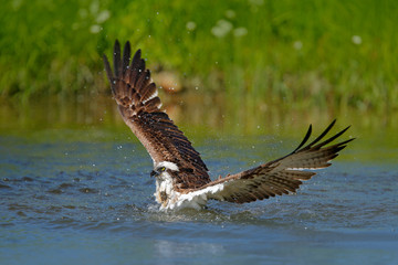 Wall Mural - Osprey catch fish. Flying osprey with fish. Action scene with bird, nature water habitat. Osprey with fish fly. Bird of prey with fish in the talon, hunting in the water, swimming in lake, Finland.