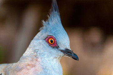 Close up portrait of crested pigeon bird