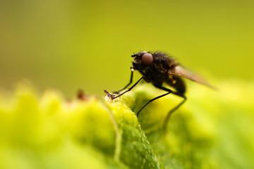 fly fly closeup. a fly on a leaf
