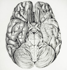 An engraved illustration of brain from a vintage book Descriptive und Topographische Anatomie written by C. Heitzmann and published in Wien, 1875.