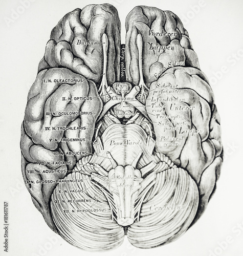 An engraved illustration of brain from a vintage book Descriptive ...