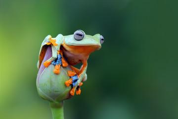 Tree frog, flying frog on lotus bud