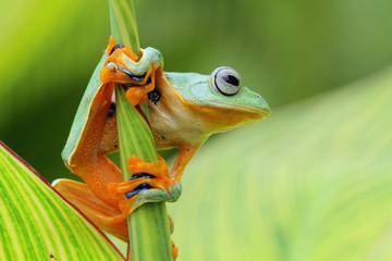 Tree frog, flying frog sleeping on branch