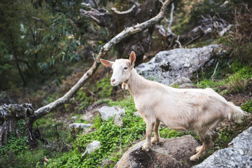 Portrait of a young female goat