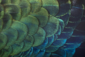 Closeup peacock feathers (Male Green peafowl)