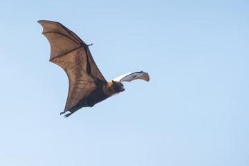 Bat flying on blue sky (Lyle's flying fox)