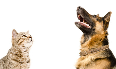 Scottish Straight cat and German Shepherd dog, looking up, isolated on white background Wall mural