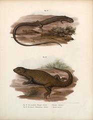 Illustration of lizards.
