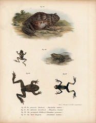 Illustration of frogs.