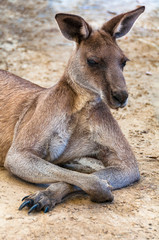 Australian kangaroo portrait