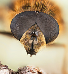 Focus Stacking - Hover-fly, Hoverfly, Fly, Flies