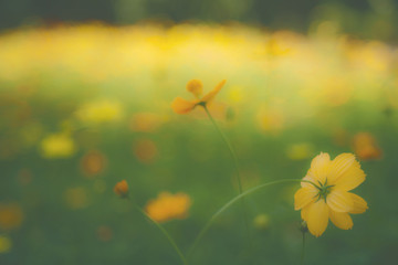 Yellow flower garden / Tropical flowers , film style photography