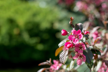 Flowering branches of decorative apple tree - selective focus