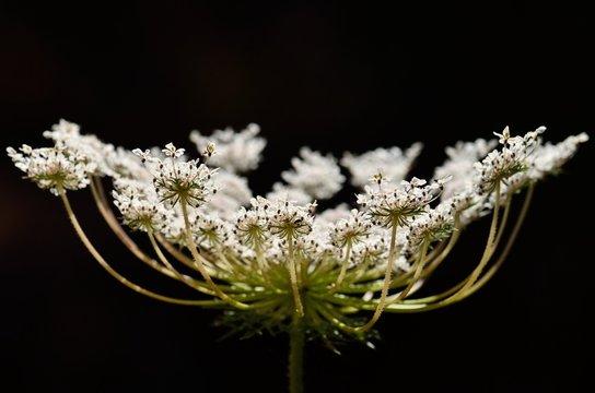 Closeup of beautiful white flower, wild carrot