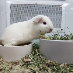 White pet hamster