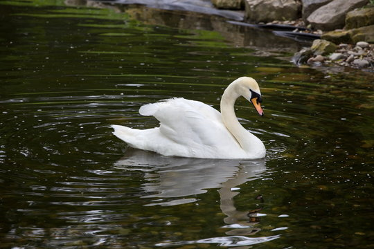 Elegant Mute Swan