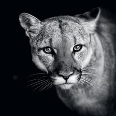 Poster Puma Puma, wild cat eyes