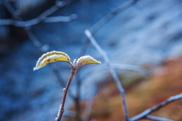 Frost on the leaves and branches in winter.