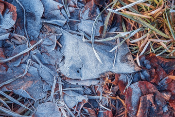 Dry leaves and grass on the ground covered with frost in winter.