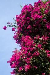 Bougainvillea flowers in the sky