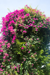 Bougainvillea flowers in the sky