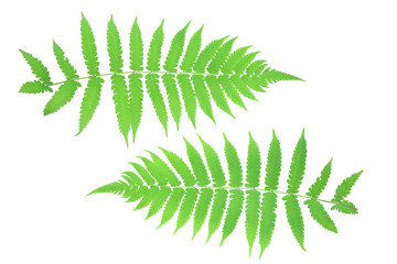 Front and back leaves ferns