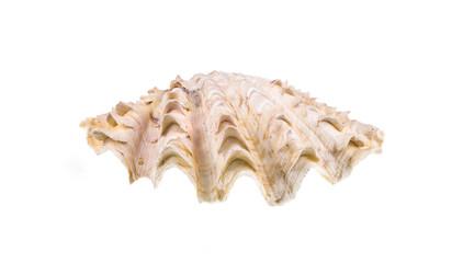 rare beautiful seashell on white isolated background