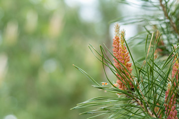 Pine tree with pine cones in the spring forest