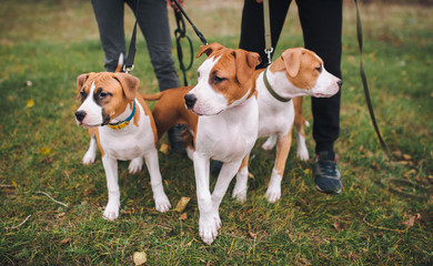 Puppies watch something attentively. Three puppies of the American Staffordshire terrier are white and brown color from one brood.